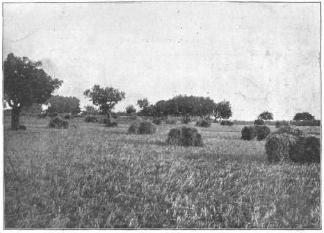 L'última collita de blat a les planes d'en Lladó. Montjuïc. La Ilustració Catalana, 1915