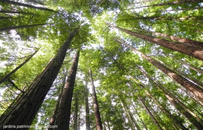 DSCN8643 Bosque de sequoies.1. Cabezón de la Sa.l sigred
