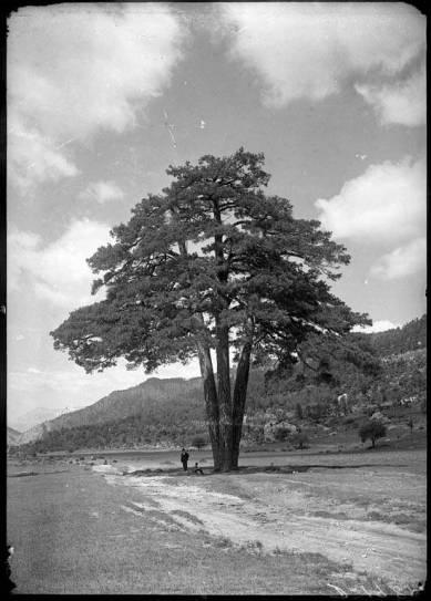 Pi_de_les_Tres_Branques.Castellar del Riu, Berguedà. Desconegut, entre 1889 i 1916. AFCEC